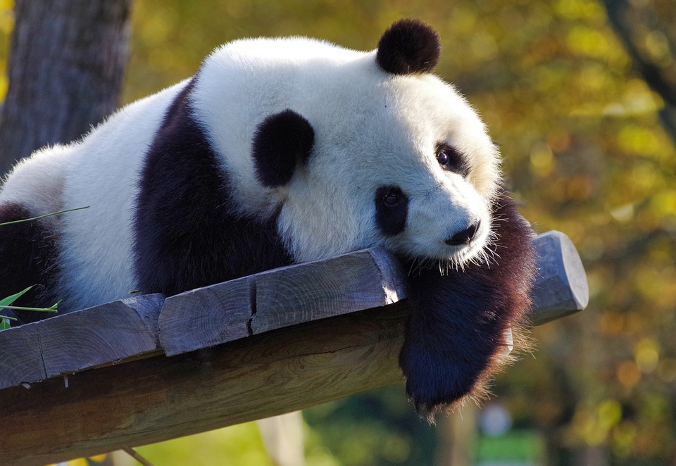 Similar to a number of other species, the giant pandas are endangered and could become extinct if care isn't take to secure their population. According to National Geographic, more than 1.9 million animal species have gone extinct, and anywhere between 10,000 and 100,000 more go extinct each year.